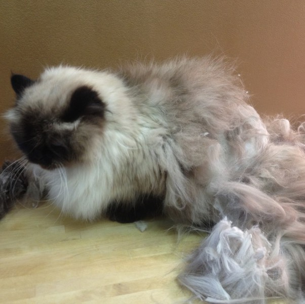 Cat Grooming Fur Styles For Your Cat