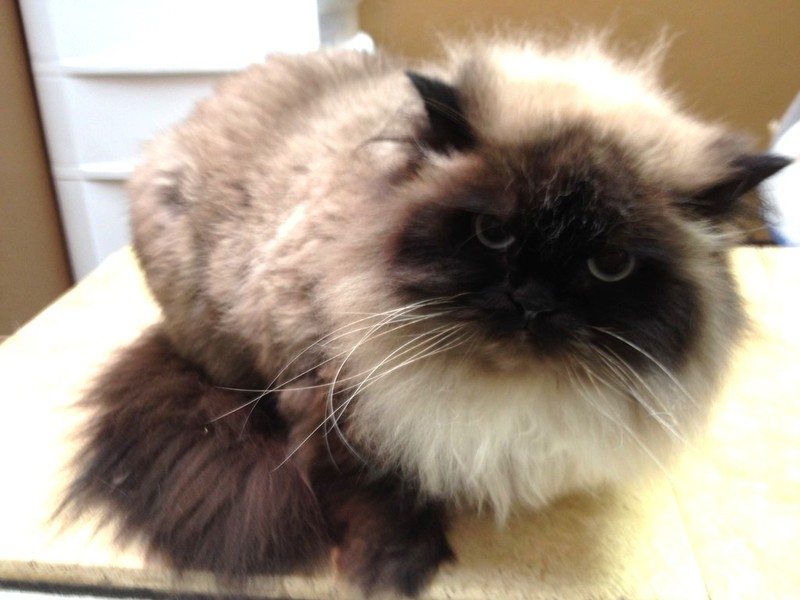 cat haircut styles cat grooming fur styles for your cat 2409 | cache 4103487346